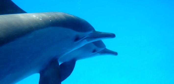 Très Nager avec les dauphins sauvages – croisière en Mer Rouge IB29